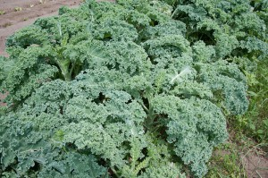 harvest vegetables in winter kale jones topsoil coumbus ohio